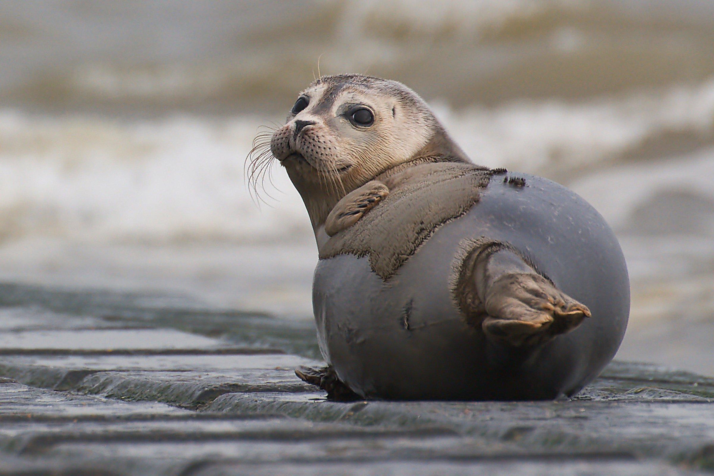 zeehond Koksijde
